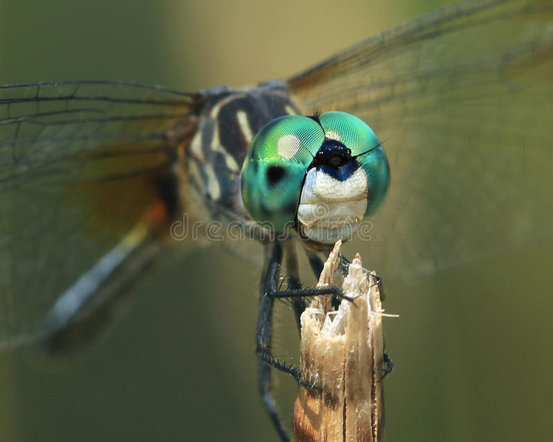 Blue Dasher Dragonfly. Close up of a Blue Dasher Dragonfly. Perfect poser stock photos