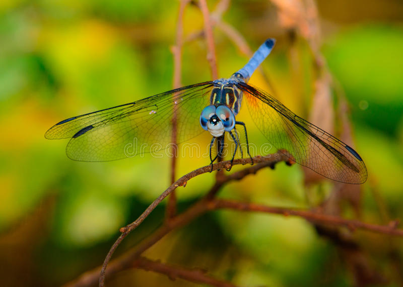 Blue dasher Pachydiplax longipennis dragonfly. With green foliage background. Vivid eyes stock photo