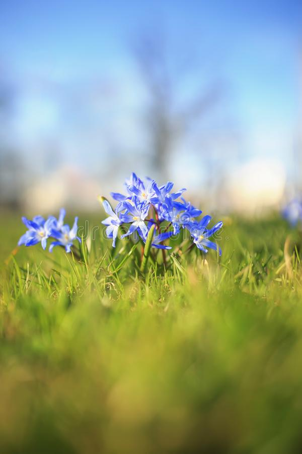 Blue delicate flowers bloomed under the warm spring rays in the Park. Cute blue delicate flowers bloomed under the warm spring rays in the Park royalty free stock images