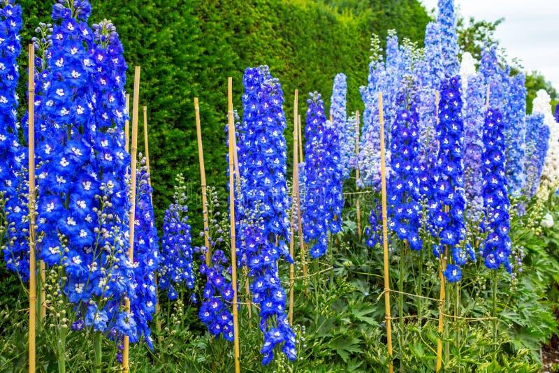 Blue delphinium blossom in the garden. Beautiful blue delphinium blossom in the garden stock images