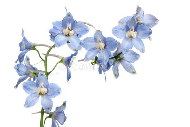 Blue delphinium flower. Isolated on white royalty free stock photos