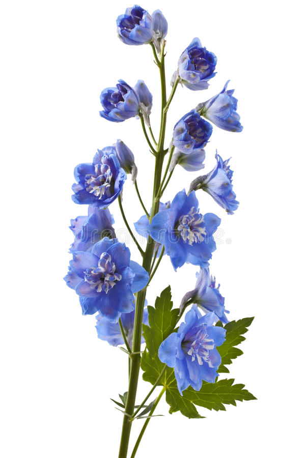 Blue delphinium flower. With green leaves on white background stock images