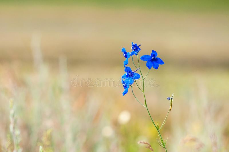 Blue delphinium flower in summer sunny day royalty free stock photography