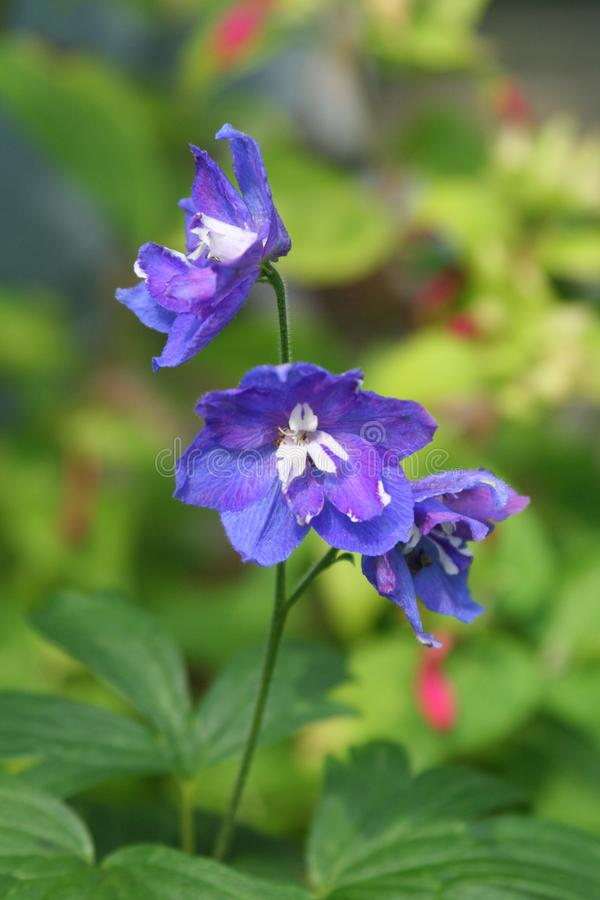 Blue delphinium flower rises in summer garden with hardy geranium download blue delphinium flower rises in summer garden with hardy geranium and red rose stock photo mightylinksfo