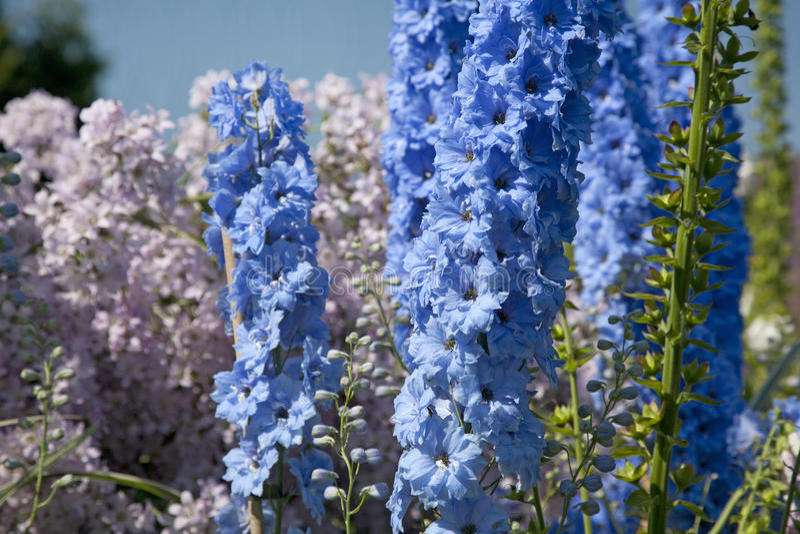 Blue Delphinium. Growing in a garden on a sunny day royalty free stock photos