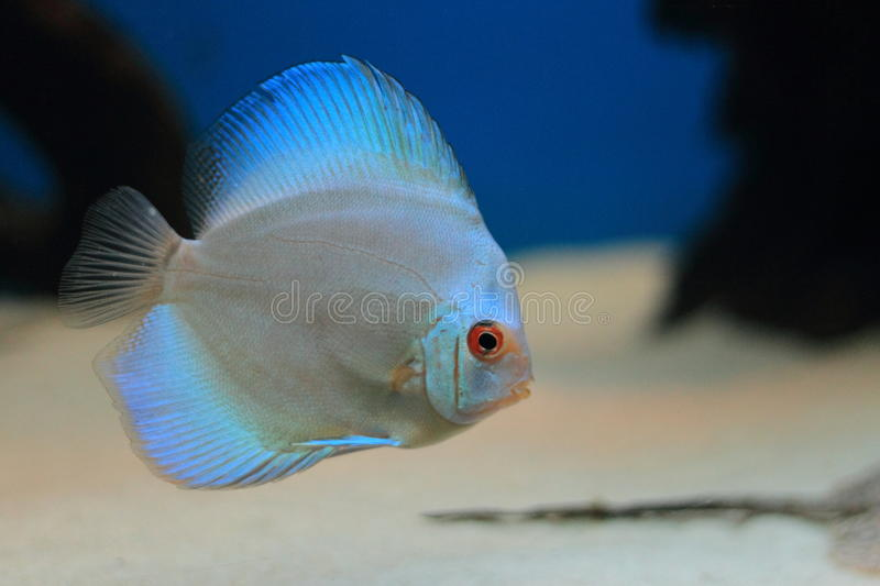 Download Blue discus stock photo. Image of symphysodon, freshwater - 22083878