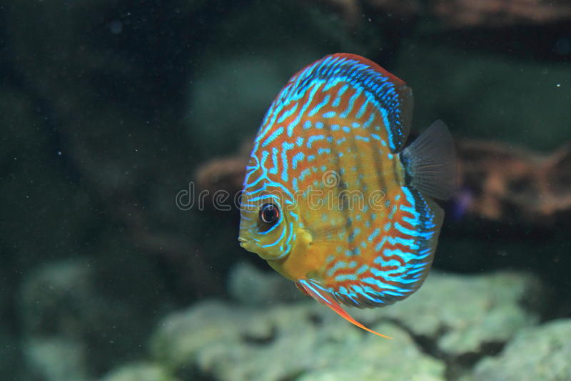 Download Blue discus stock image. Image of freshwater, water, symphysodon - 24567951