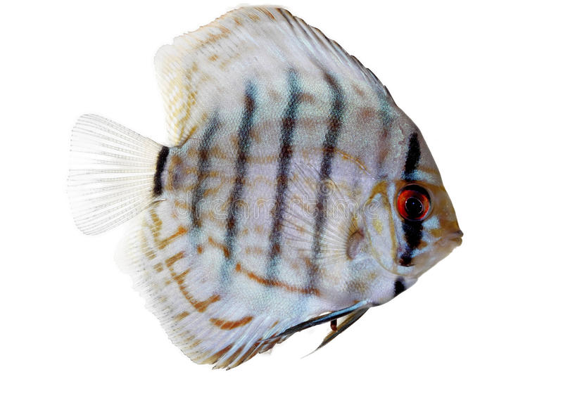 Blue Discus. Isolated on white and clear royalty free stock photo
