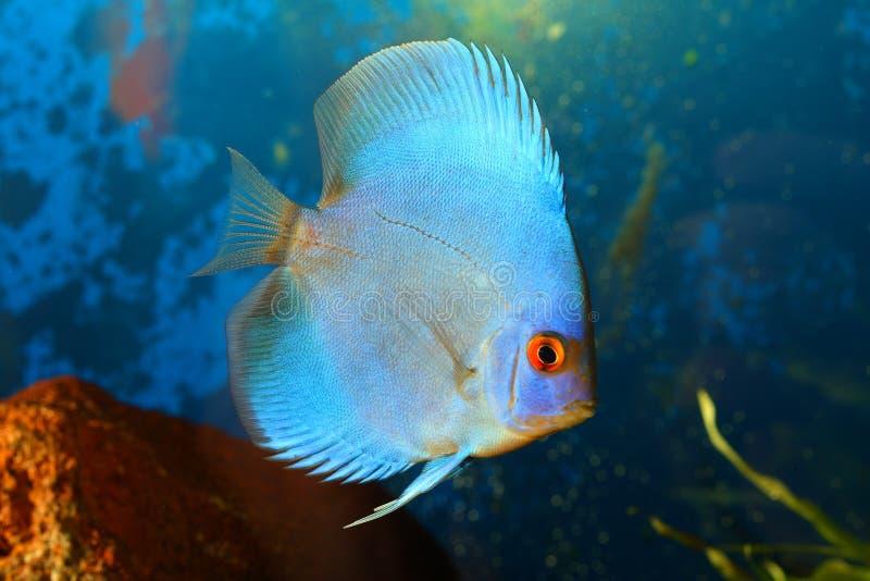 Blue discus. Fish in aquarium close up shot stock image