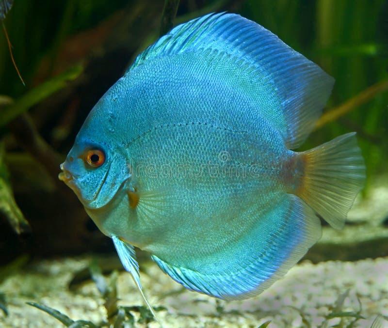 Blue discus fish 1. Blue discus fish in aquarium stock images