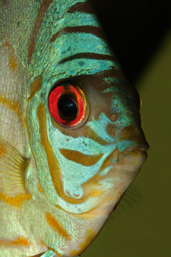 Blue discus fish. Close-up, underwater view of a colorful blue discus fish (Symphysodon aequifasciata royalty free stock image