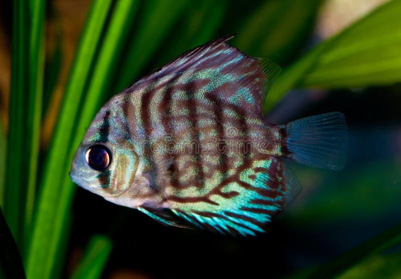 Blue Discus Fish. In the aquarium royalty free stock image