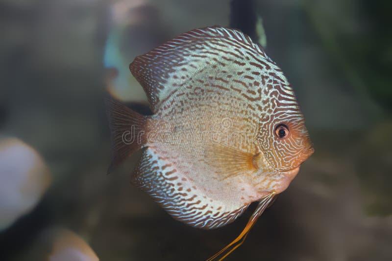 Blue discus fish. Close up blue discus fish in a aquarium royalty free stock photo