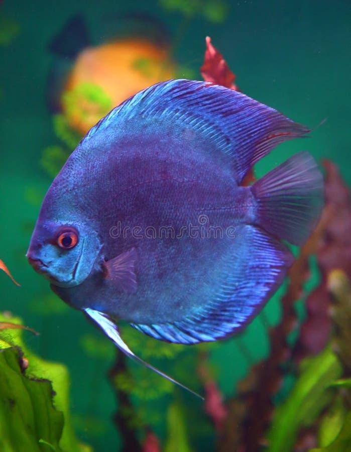 Blue discus fish in aquarium. Underwater royalty free stock photo