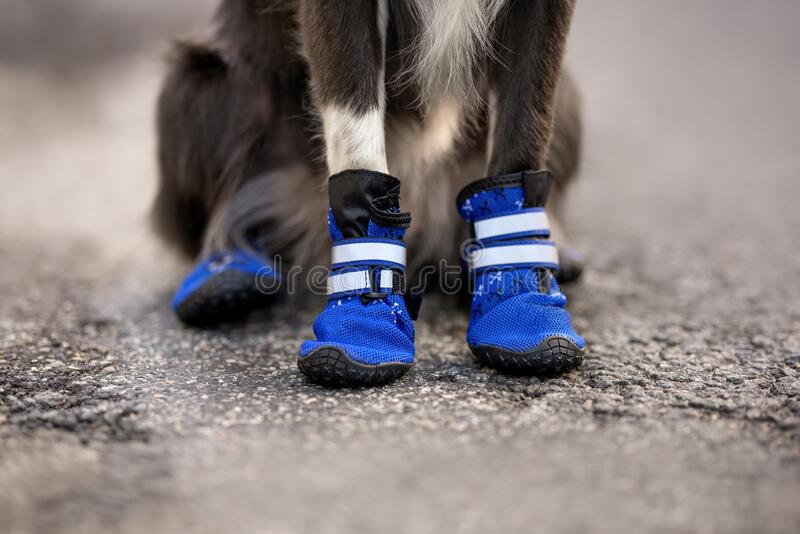 Blue dog trailing boots close up on dog paws royalty free stock images