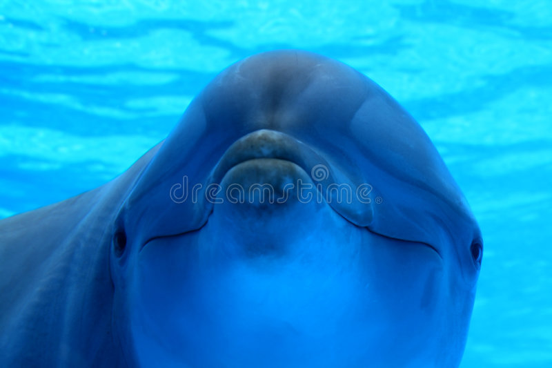 Blue dolphin underwater royalty free stock image