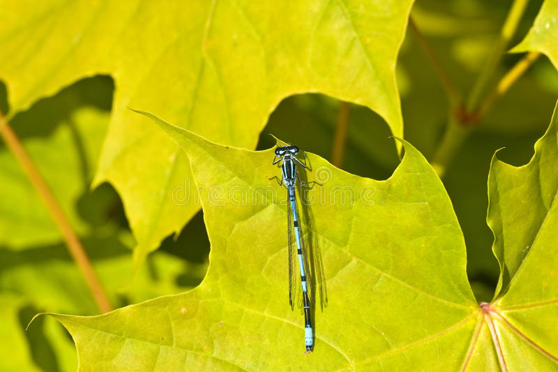 Download Blue Dragon Fly Royalty Free Stock Photo - Image: 14489075