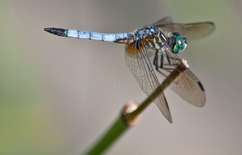 Blue Dragon Fly resting stock image