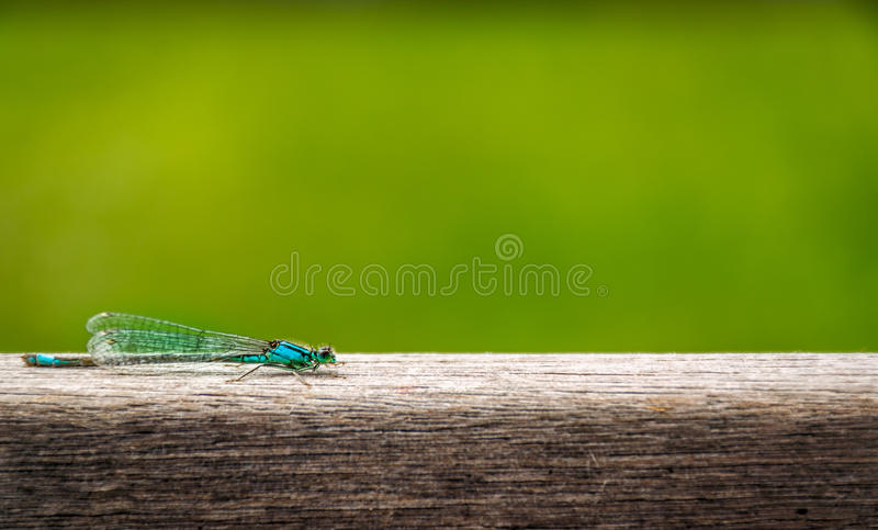 Blue dragon - fly resting on wooden board. Blue dragon-fly in Holland. Resting in the sun on a batten. Natural. Minimalist. Wooden fiber texture. Green. Still royalty free stock image