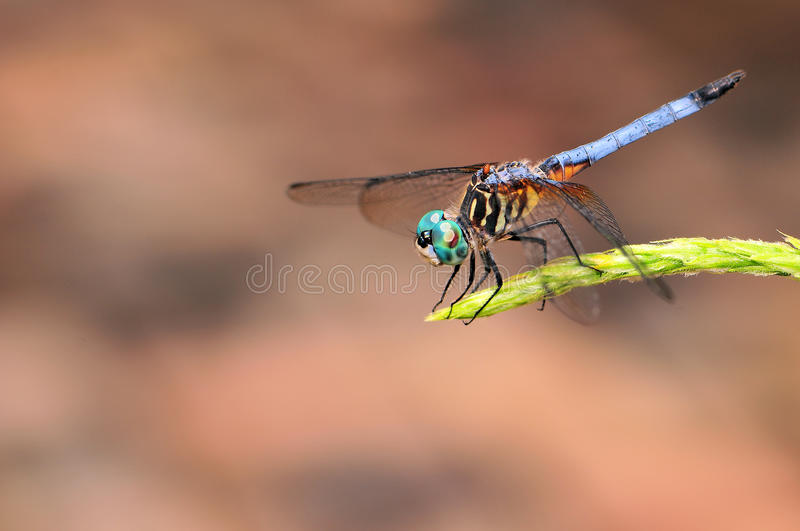 Blue Dragonfly. Closeup of a blue Dragonfly, in a South Florida garden royalty free stock images