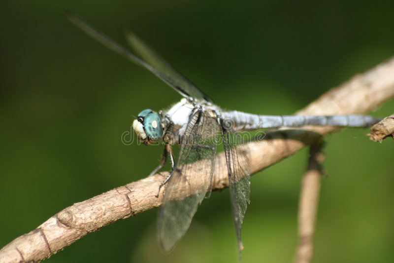Download Blue Dragonfly stock image. Image of nature, dragonfly, perched - 48255