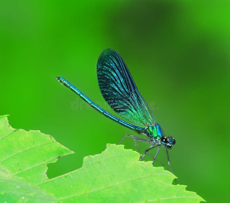 Blue dragonfly. On the green leaf stock image