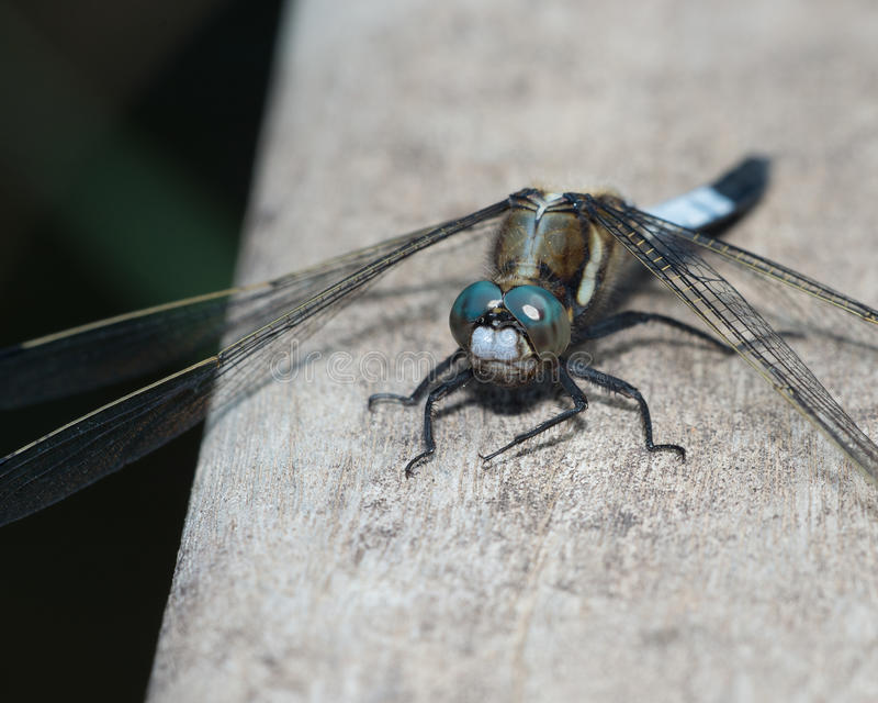 Download Blue dragonfly stock image. Image of insect, spring, dragonfly - 31122235