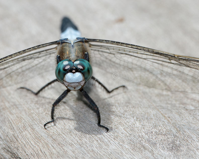 Download Blue dragonfly stock image. Image of light, wings, dragonfly - 31385229
