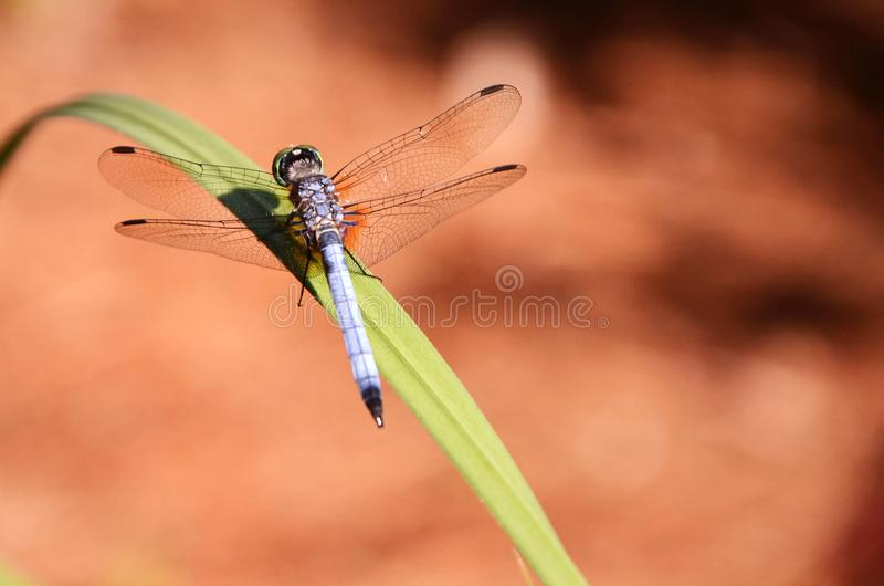 Blue dragonfly on a blade of grass against a tan backdrop. A blue dragonfly with black wings sits on a green blade of grass against a blurred brown backdrop stock images