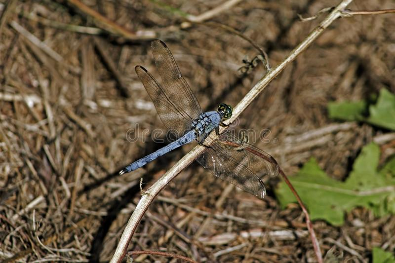 Blue dragonfly on brown stick stock images