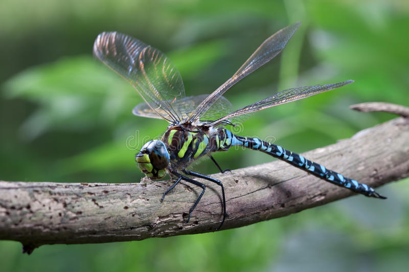 Blue Dragonfly Stock Images