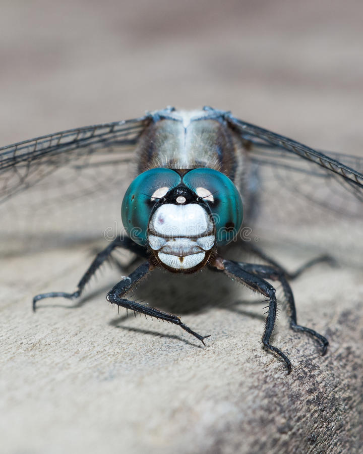 Blue Dragonfly Close-up Royalty Free Stock Photo