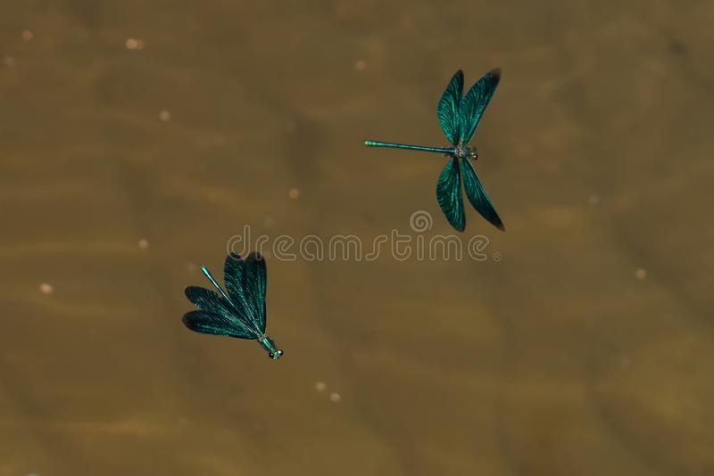Blue Dragonfly flying closeup in nature wildlife stock image