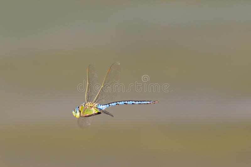Blue dragonfly flying at lake Beletsi in Greece. royalty free stock photography