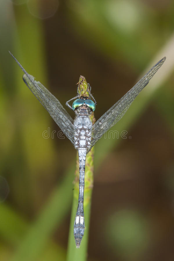 Blue dragonfly with green eyes on a leaf royalty free stock photography