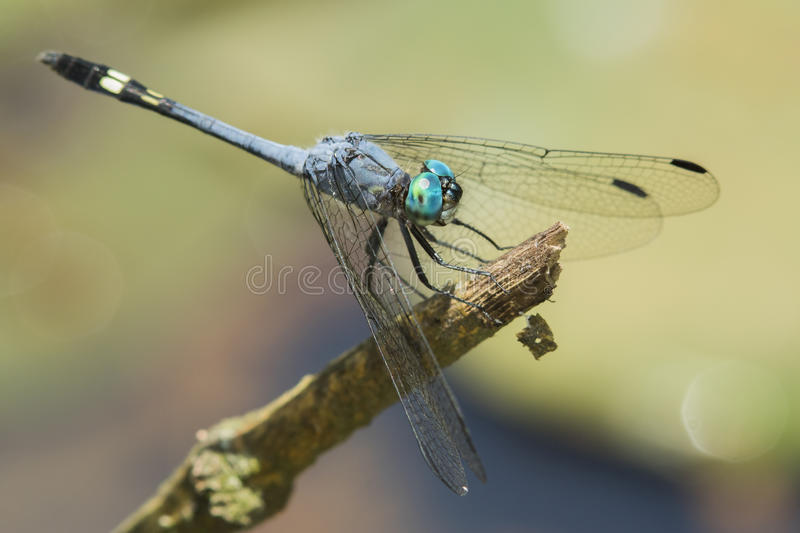 Blue dragonfly with green eyes on a stick stock images