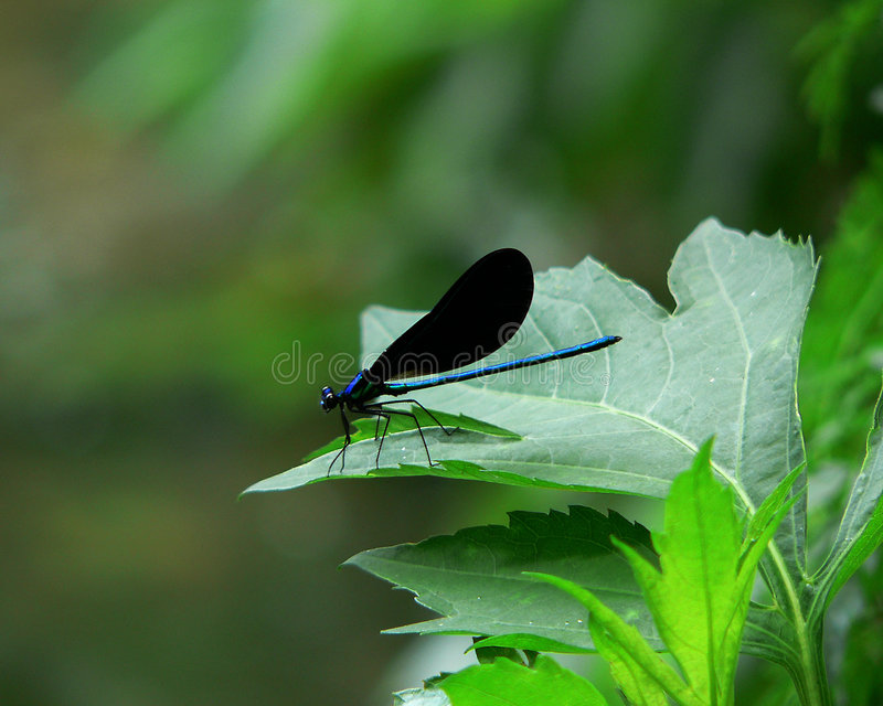 Blue Dragonfly on Green Leaf royalty free stock image