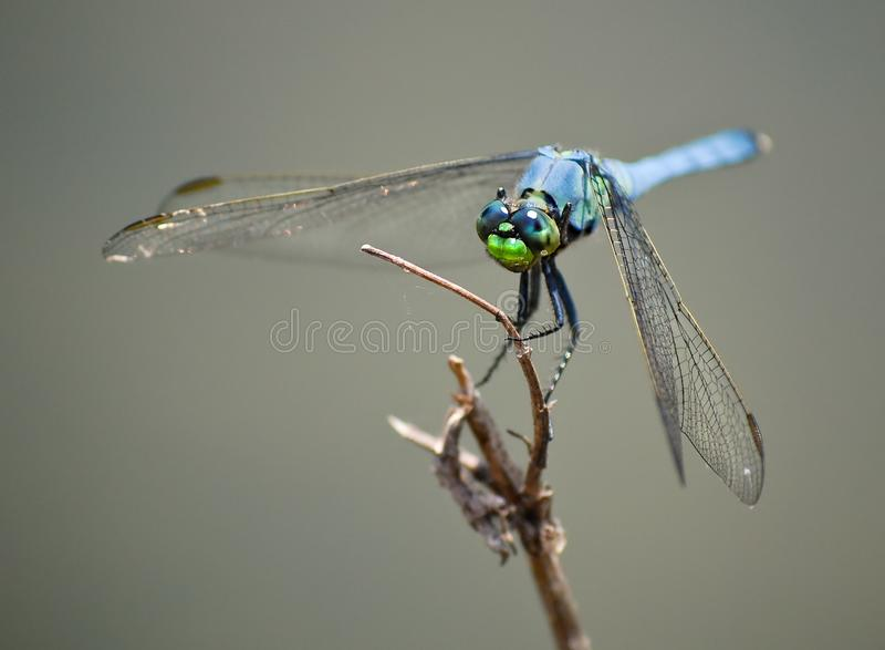 Download Blue Dragonfly Insect On Wood Branch Stock Image - Image: 6229569