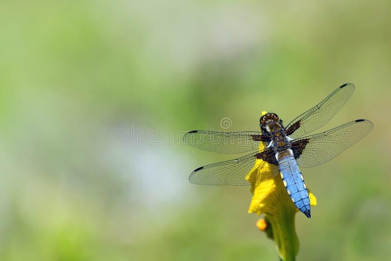 Blue dragonfly, Libellula depressa, sitting on a yellow flower stock photo
