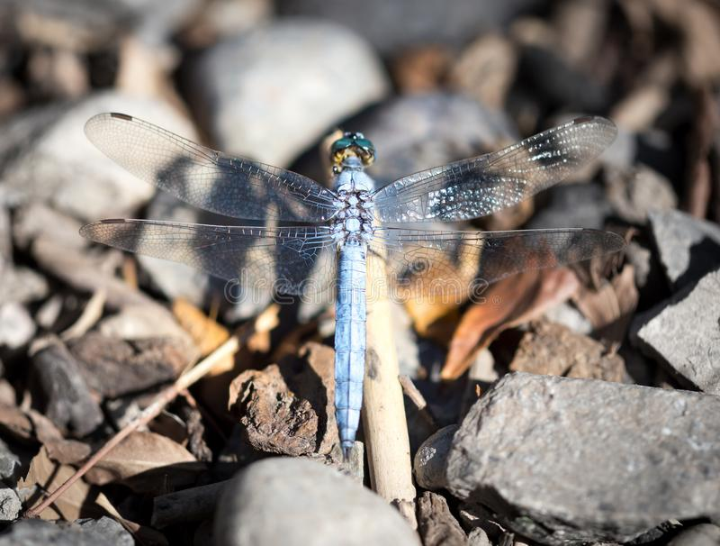A blue dragonfly in the nature royalty free stock photography