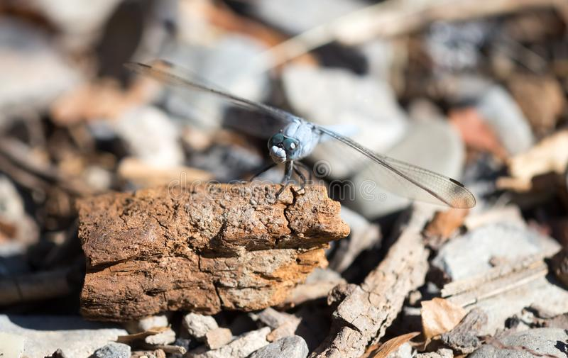 A blue dragonfly in the nature royalty free stock photos