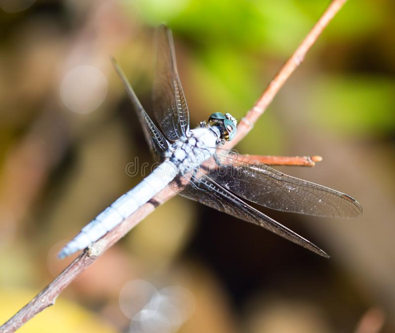A blue dragonfly in the nature stock photography