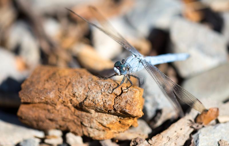 A blue dragonfly in the nature royalty free stock photo