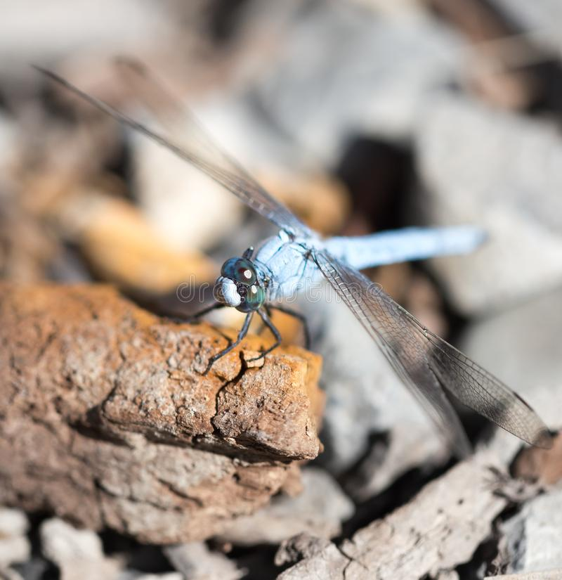 A blue dragonfly in the nature stock image