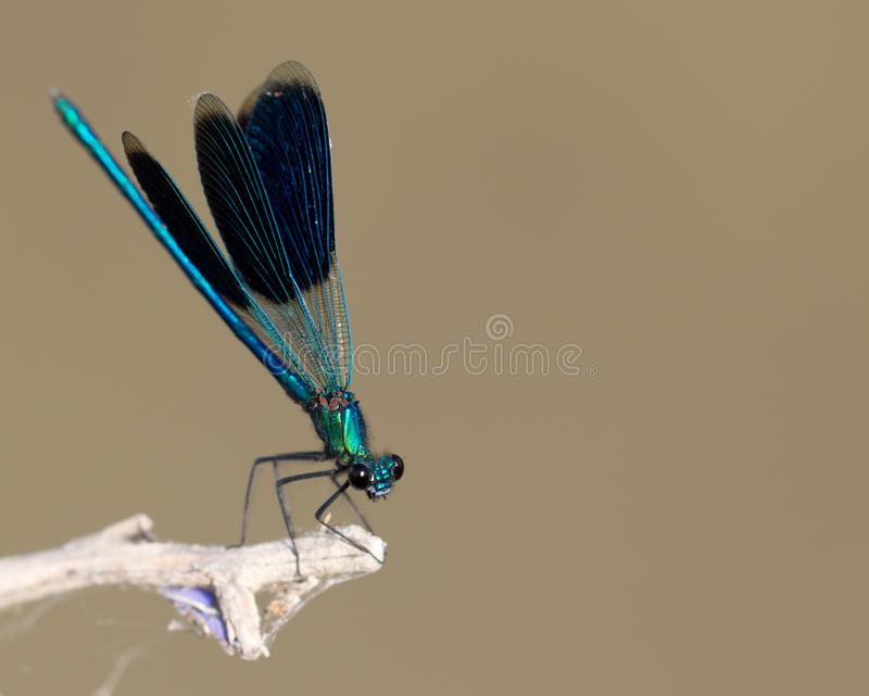 Blue dragonfly in nature. macro royalty free stock photography