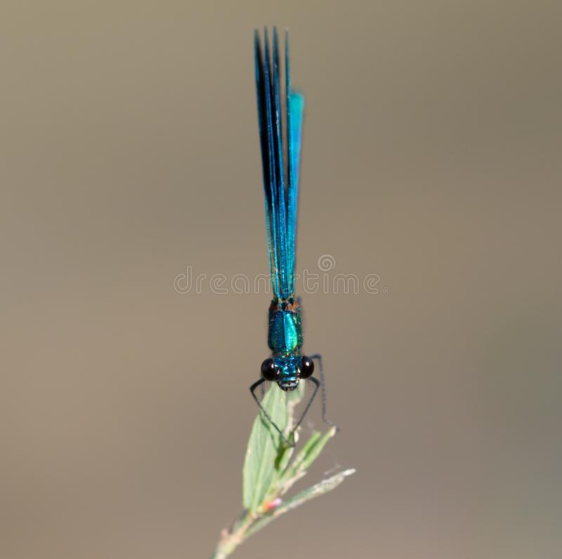 Blue dragonfly in nature. macro stock photos