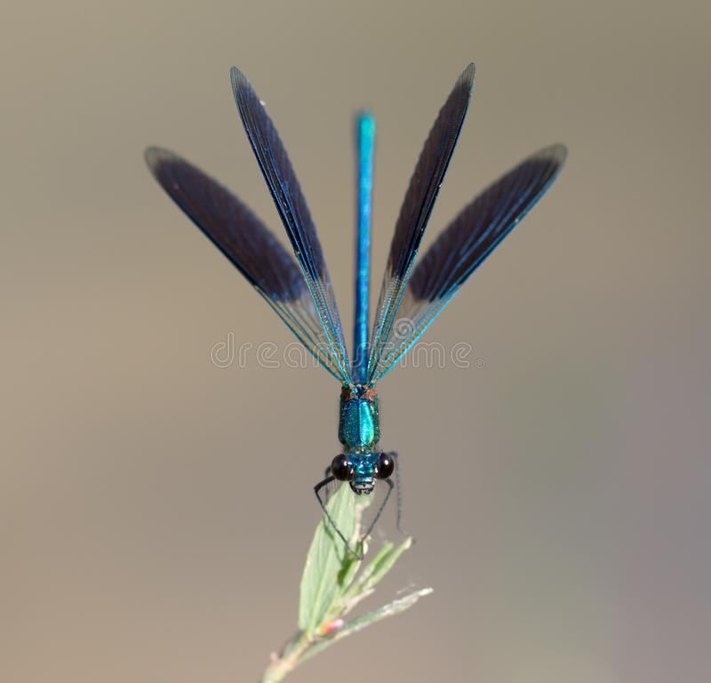 Blue dragonfly in nature. macro royalty free stock images