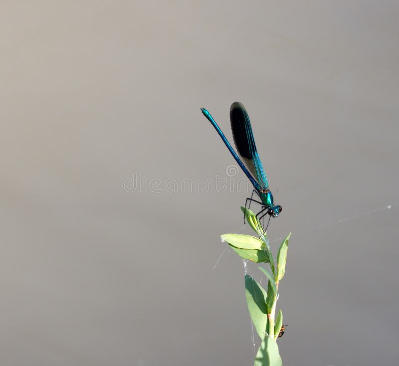 Blue dragonfly in nature. macro stock images