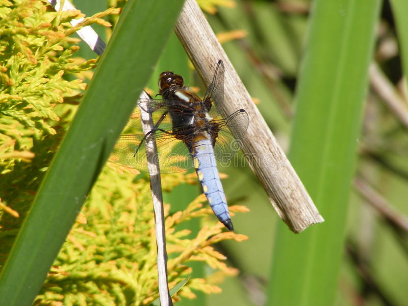Blue Dragonfly on a pond plant stock images