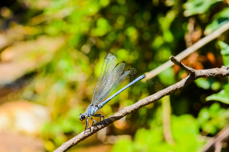 A blue Dragonfly royalty free stock images